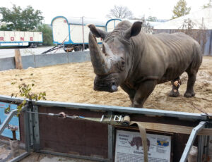 Nashorn3-300x230 in Zirkus Krone in Berlin